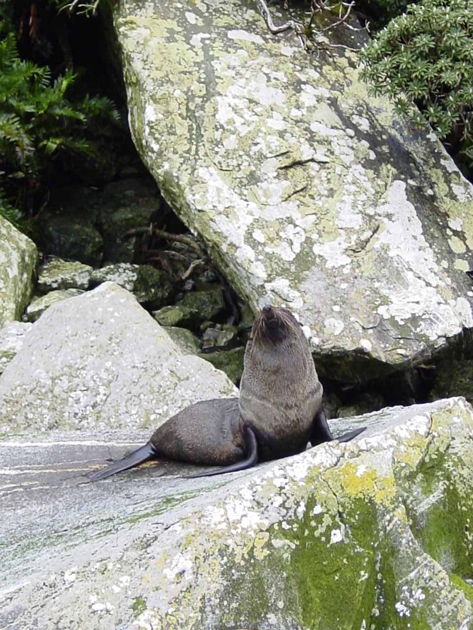 Closer look at the New Zealand fur seal