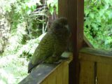 Milford_Track_day2_056_11272004 - Keas were persistent presences on the Milford Track as they were quite cheeky characters throughout the whole experience. This one was looking to steal food while we were lunching at the Hirere Falls Lunch Shelter