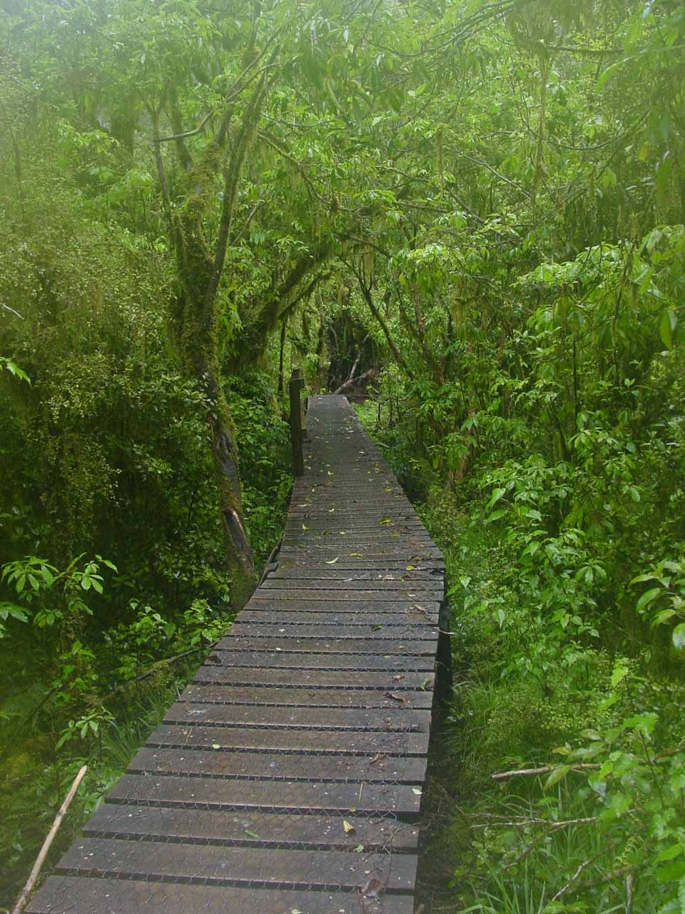 The boardwalk going through a very thick part of the jungle