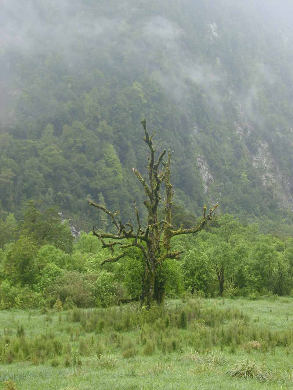 A ghostly-looking mossy tree in an open part of Day 4 of the Milford Track