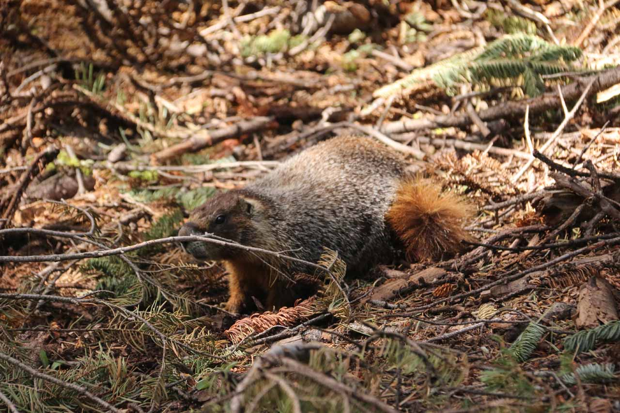 We noticed this fellow in one of the forested sections, which I think was a marmot or something that we hadn't seen in a while