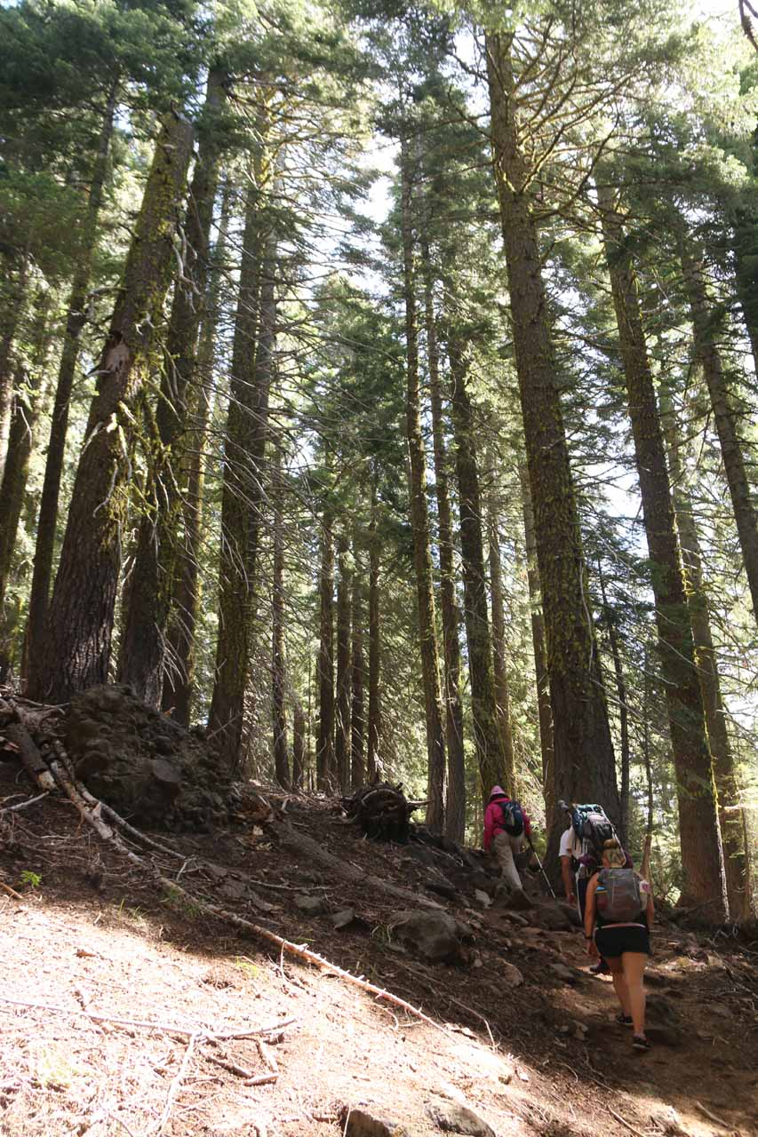 After the creek crossing, it seemed like the bulk of the elevation gain happened as we were weaving between more tall trees while generally going uphill