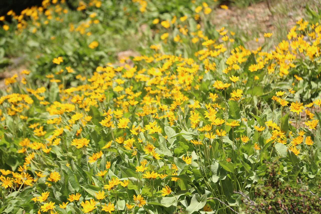 And as we got closer to West Sulphur Creek, we got to walk amongst these extensive colorful mats of wildflowers