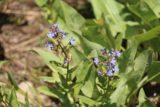Mill_Creek_Falls_157_06212016 - Examining still more wildflowers on display along the Mill Creek Falls Trail