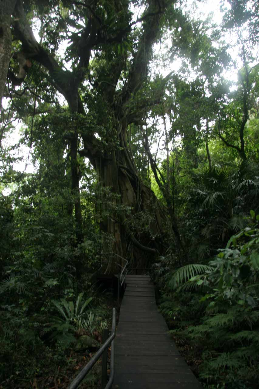 An interesting tree along the Minnamurra Rainforest Trail