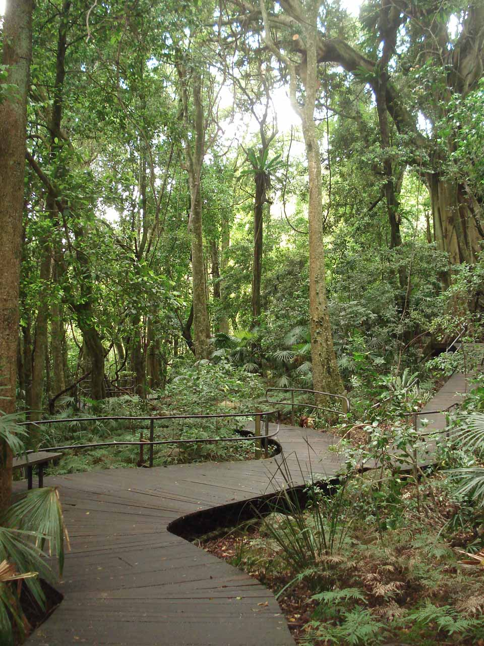 The first third of the hike was one-half of the boardwalk loop through the Minnamurra Rainforest