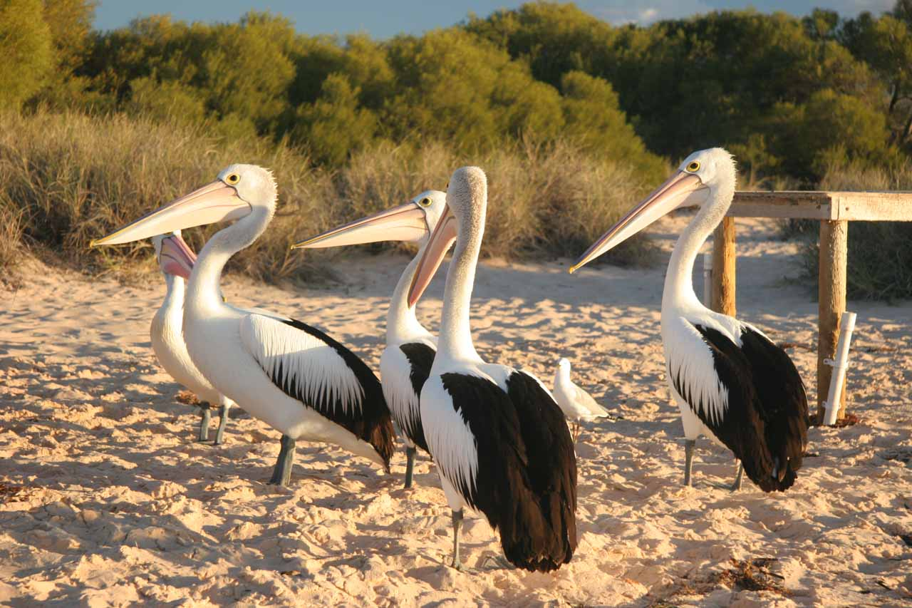 Some big storks waiting eagerly for a freebie