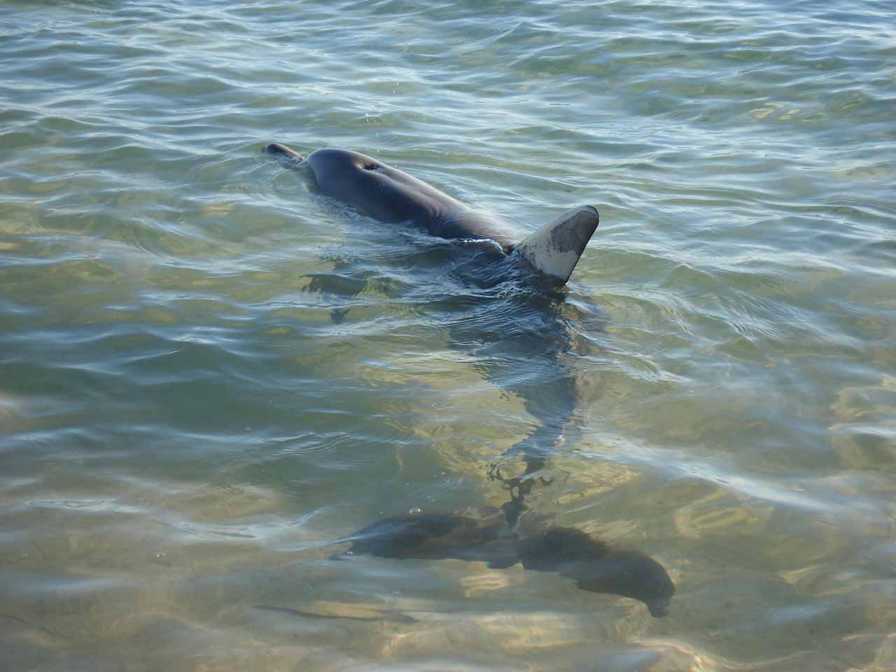 Another dolphin swimming about at Monkey Mia