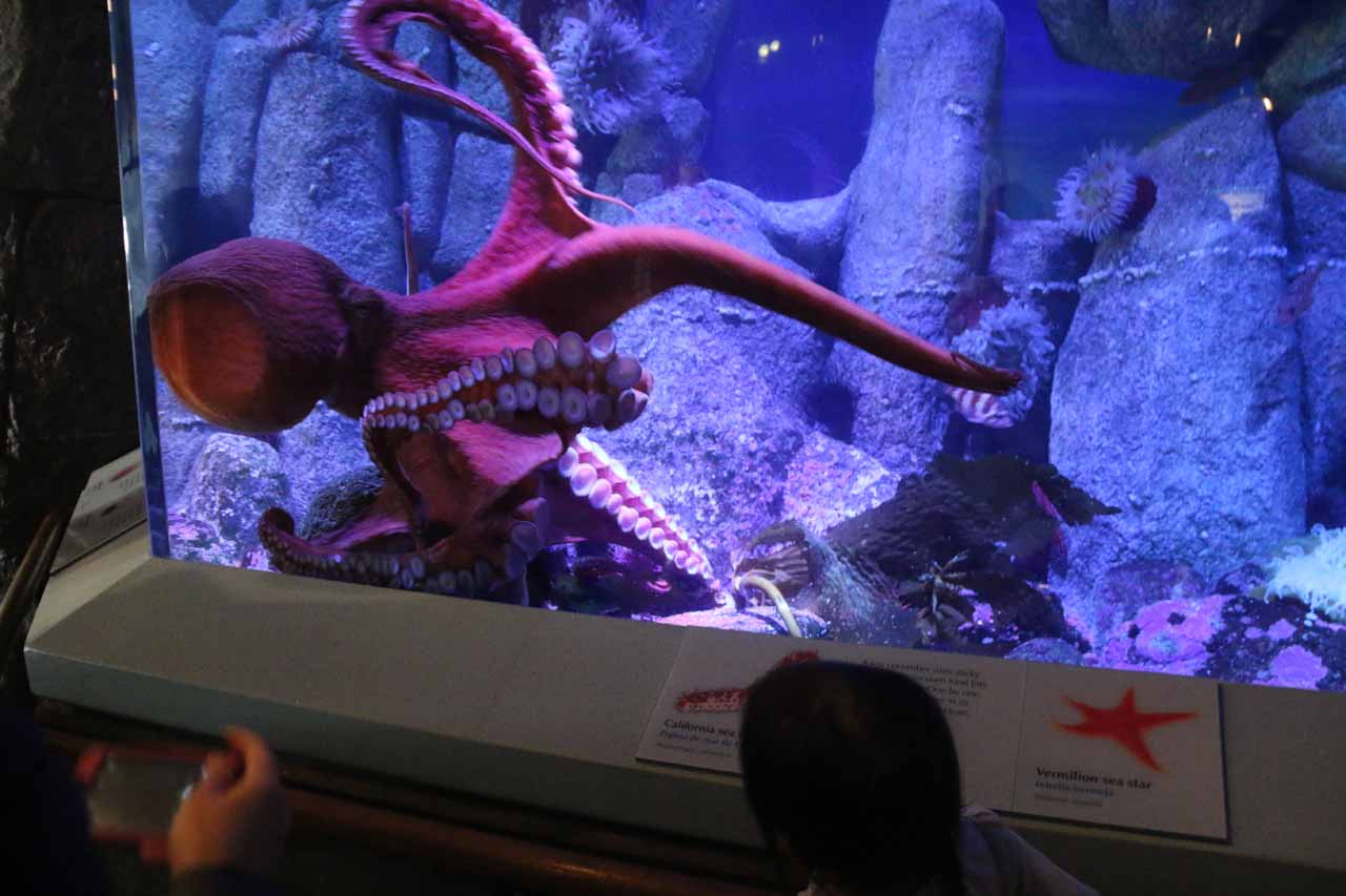 Tahia checking out a graceful octopus