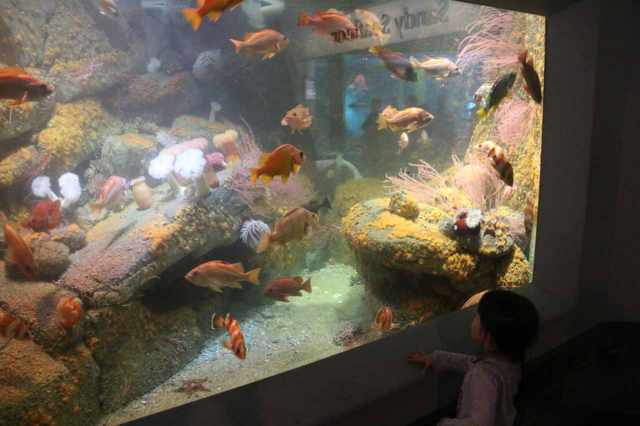 Tahia checking out another tank full of fish at the Monterey Aquarium