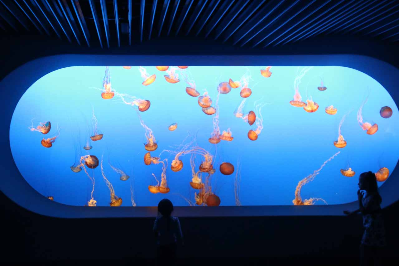 Tahia mesmerized by the impressive array of jellyfish in this tank at the Monterey Aquarium