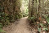 Montezuma_Falls_17_018_11292017 - The wide Montezuma Falls Track was flanked by some tall and thin trees as well as ferns as seen during my visit in November 2017