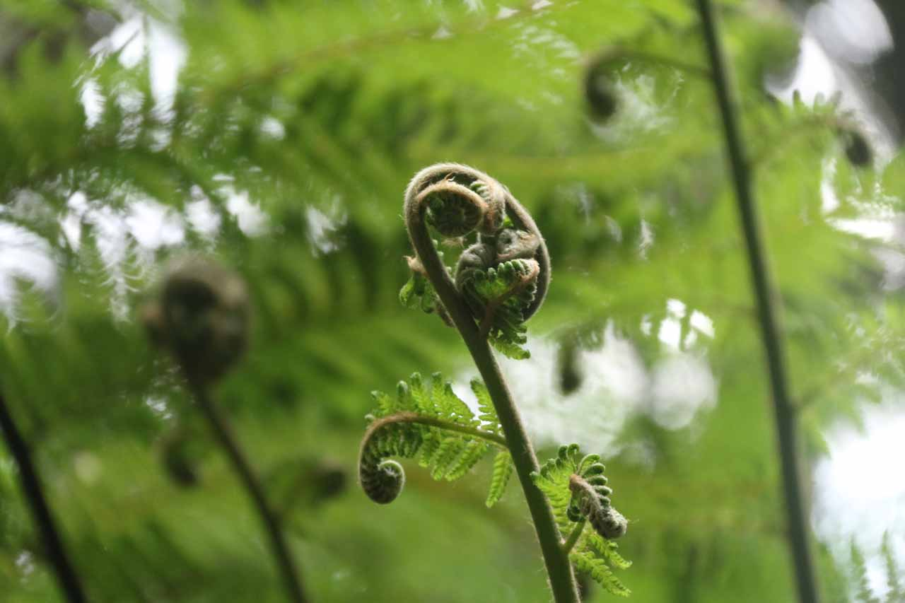 Closeup look at one of the ferns looking like something we had seen a lot of in New Zealand