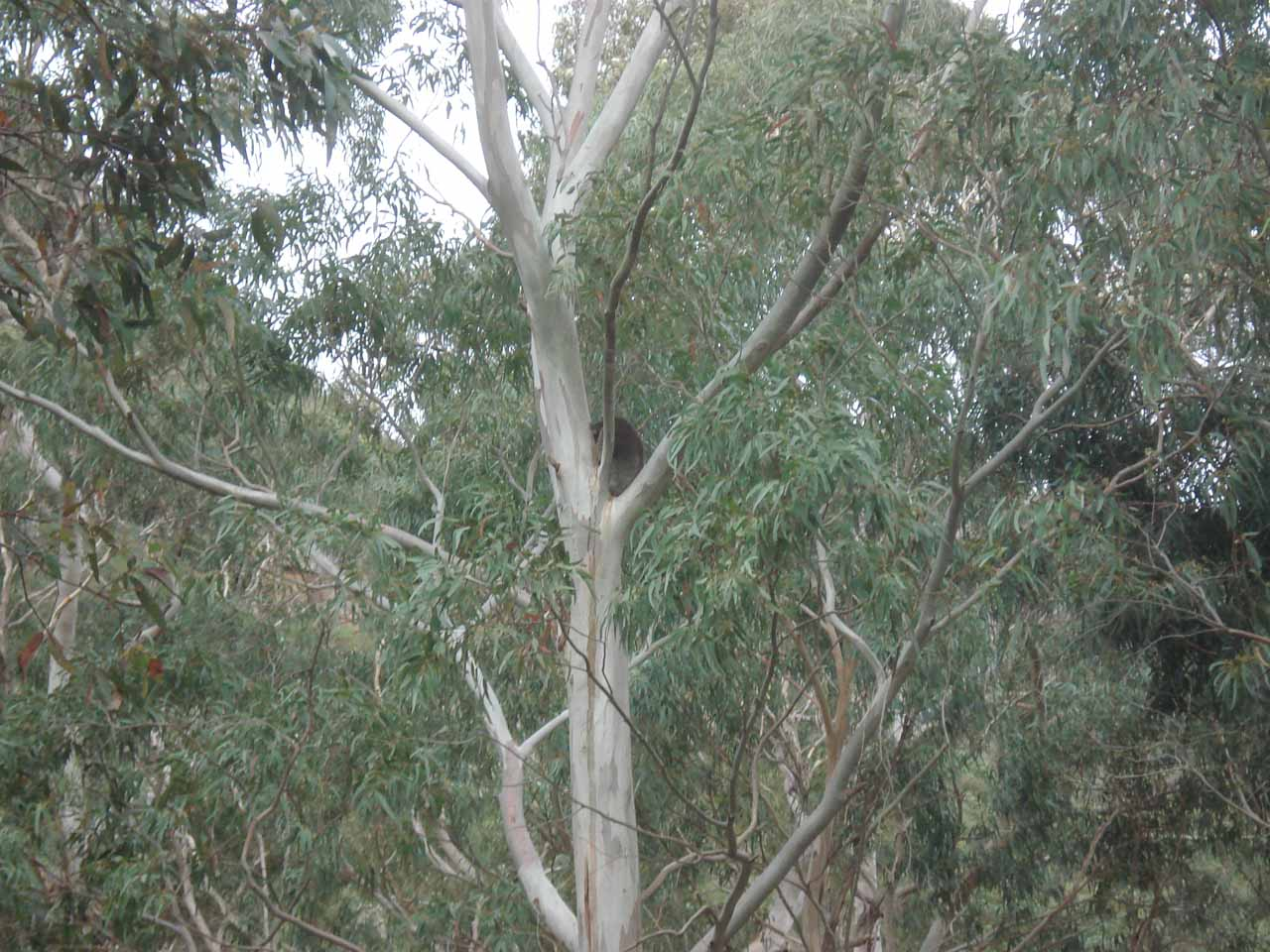 On our way out of the park (when we realized that we could walk out with a little less haste), we noticed some koalas on the trees above us