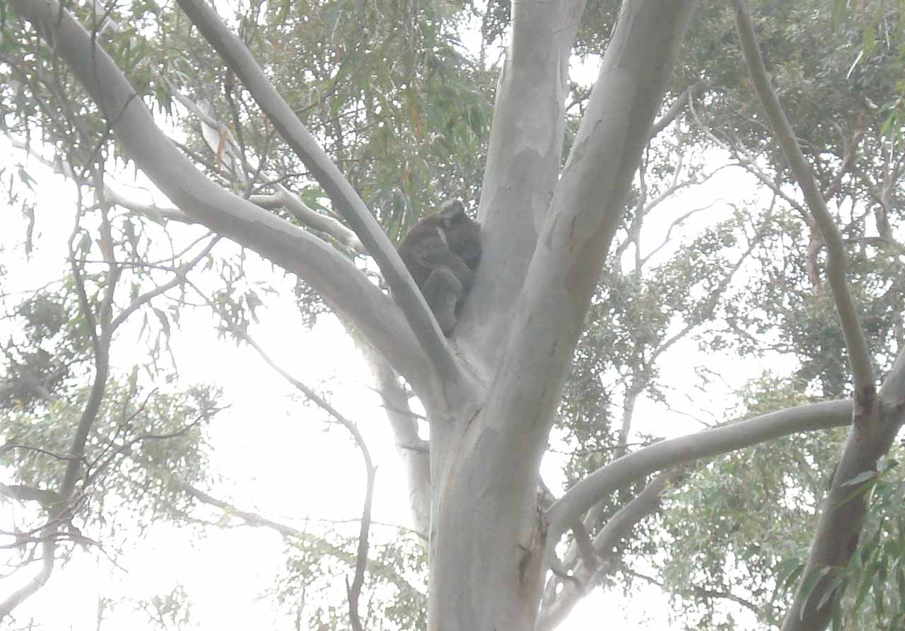 Another sleeping koala that we noticed in the nook of a tree