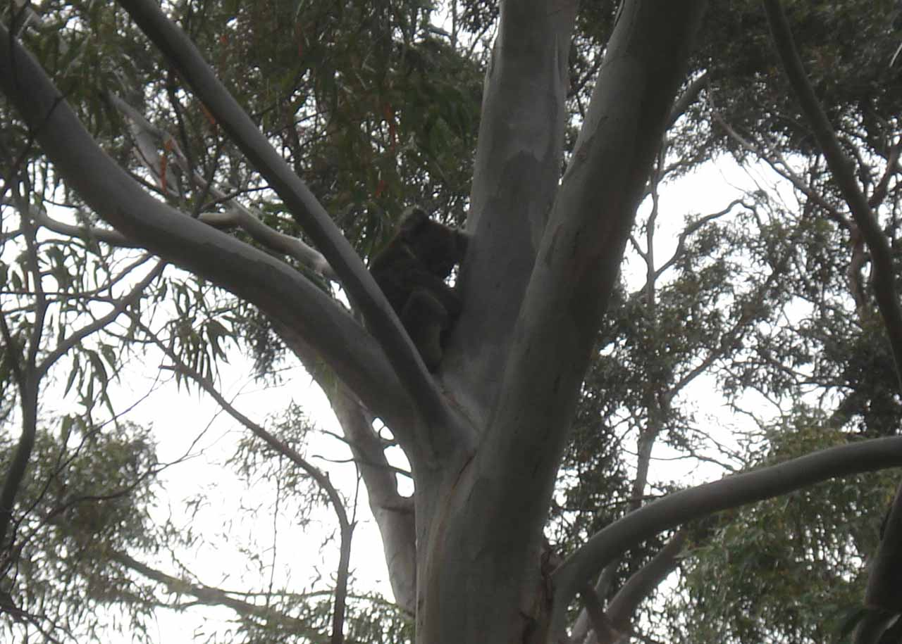A really cool benefit of visiting the waterfalls in the Morialta Conservation Park was seeing koalas, which was something that we didn't expect to find