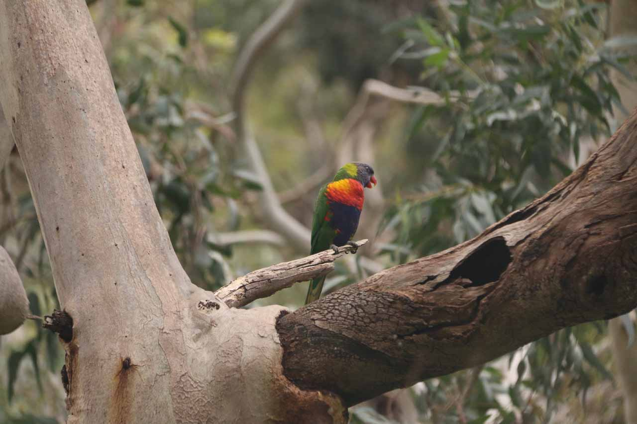 We didn't get to see koalas along the track on our second visit to Morialta Falls, but we did see these colorful parrot-looking birds