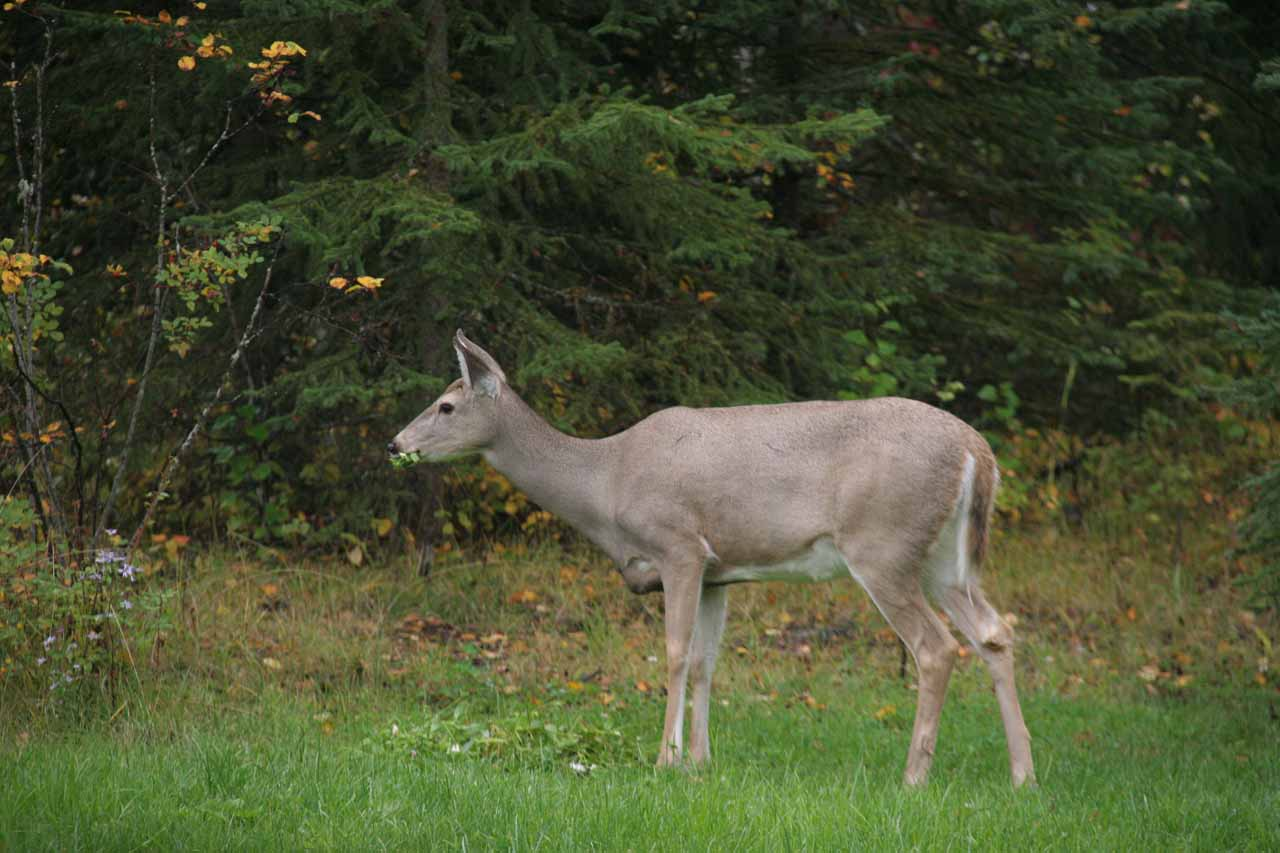 We spotted this deer grazing at the Moul Creek Lodge (nearby Moul Falls), which was a convenient base to do this hike