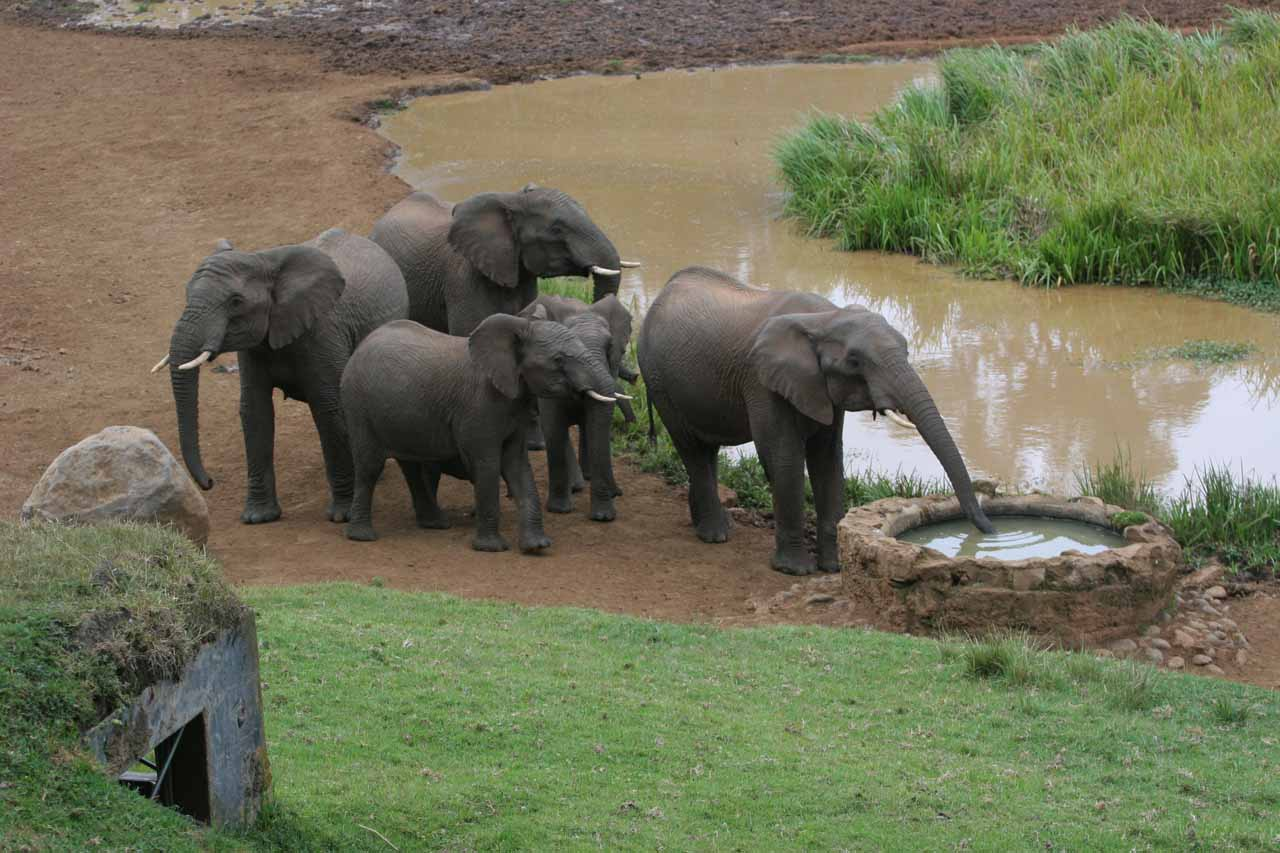 Elephants drinking from artificial well