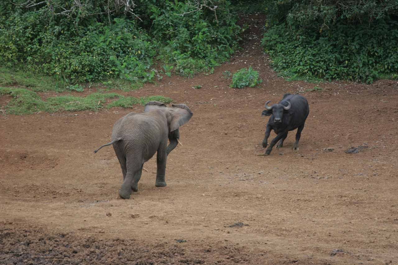 Territorial elephant charging a cape buffalo