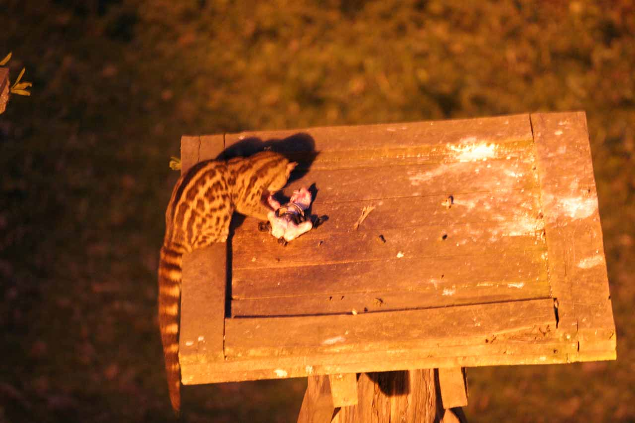 Genet cat eating the provided food in a rather disturbing scene