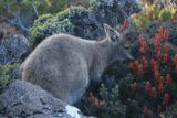 Mt_Wellington_105_11282017 - Another wallaby grazing at the summit of Mt Wellington