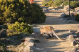 Mt_Wellington_109_11282017 - Another wallaby hopping across the trail at the summit of Mt Wellington