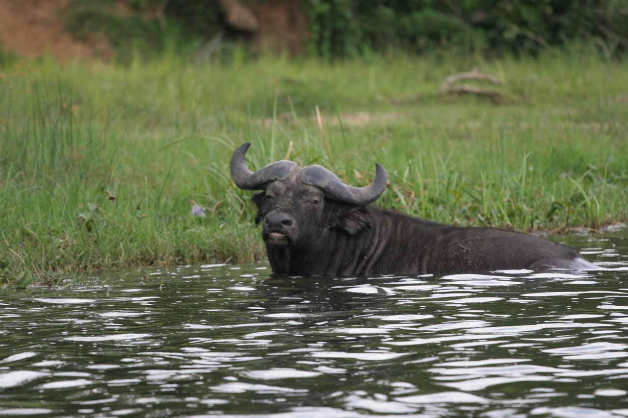 Cape buffalo in the river