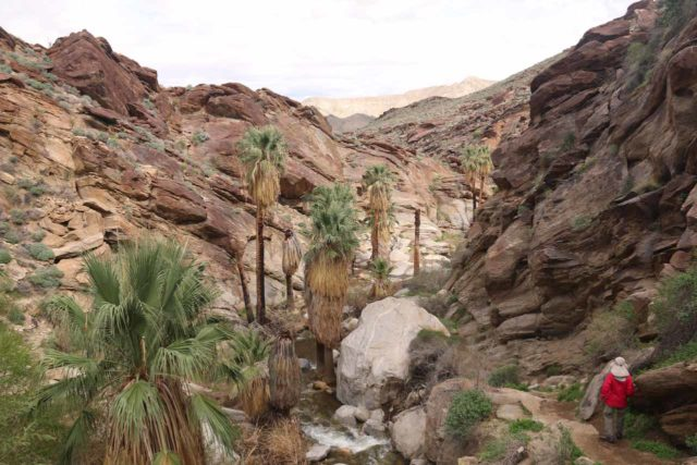Murray_Canyon_178_02112017 - Murray Canyon was very scenic with beautiful sandstone closing in on fan palms thriving in the desert oases provided by Murray Creek