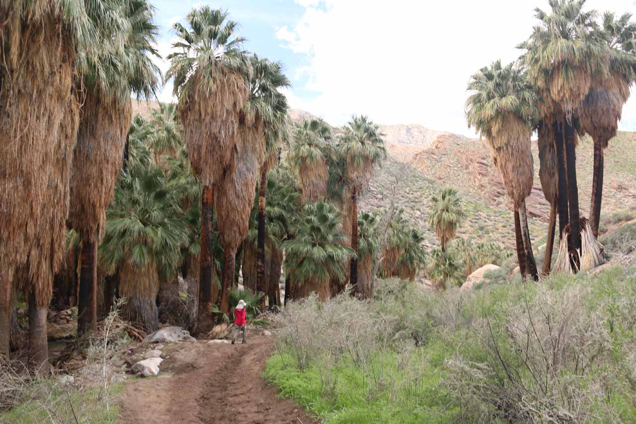 Julie continuing to hike alongside the impressive palm trees with black bark from the Mountain Fire