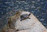 Murray_Falls_026_05152008 - Turtle at Murray Falls