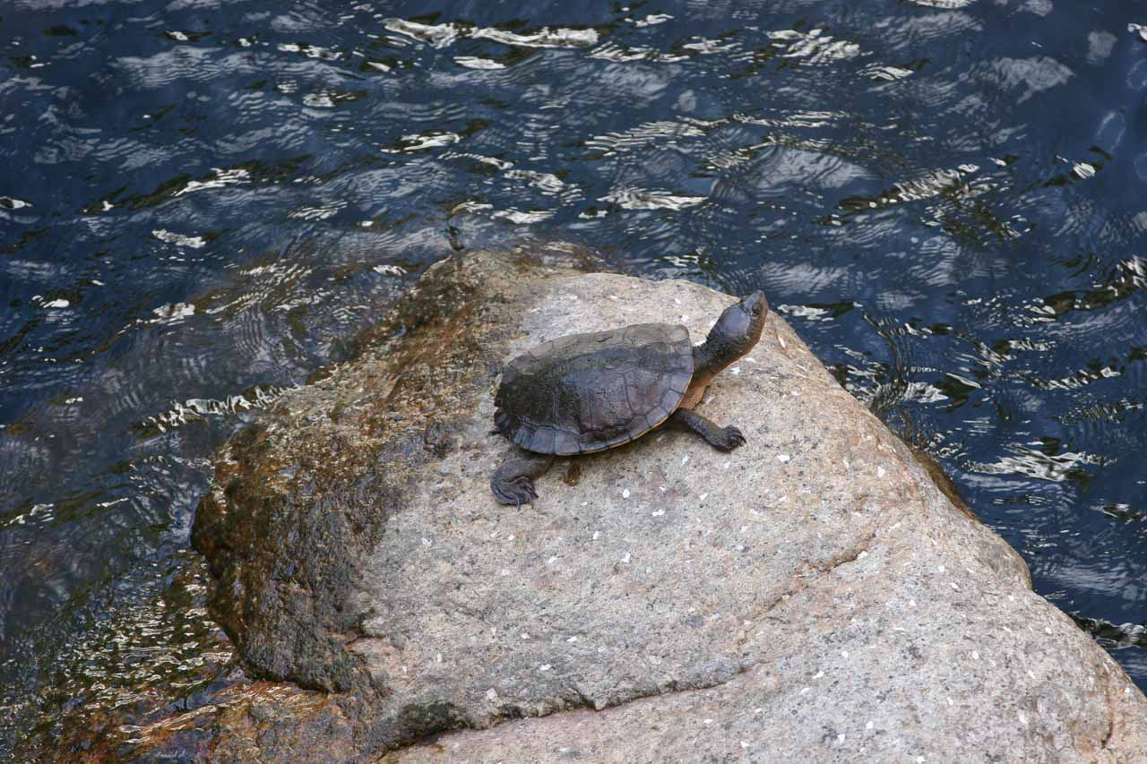 A real pleasant surprise about our Murray Falls visit was that we chanced upon a turtle sighting as it was basking by the waterfall's plunge pool