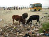 Murudeshwar_010_jx_11152009 - Cows eating litter on the beach