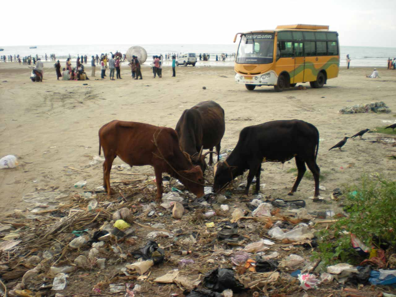 Cows eating litter on the beach