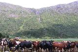 Myklebust_022_07192019 - Lots of cows gathered towards me as I was photographing Nonfossen in Myklebustdalen. They must have thought I was going to feed them something