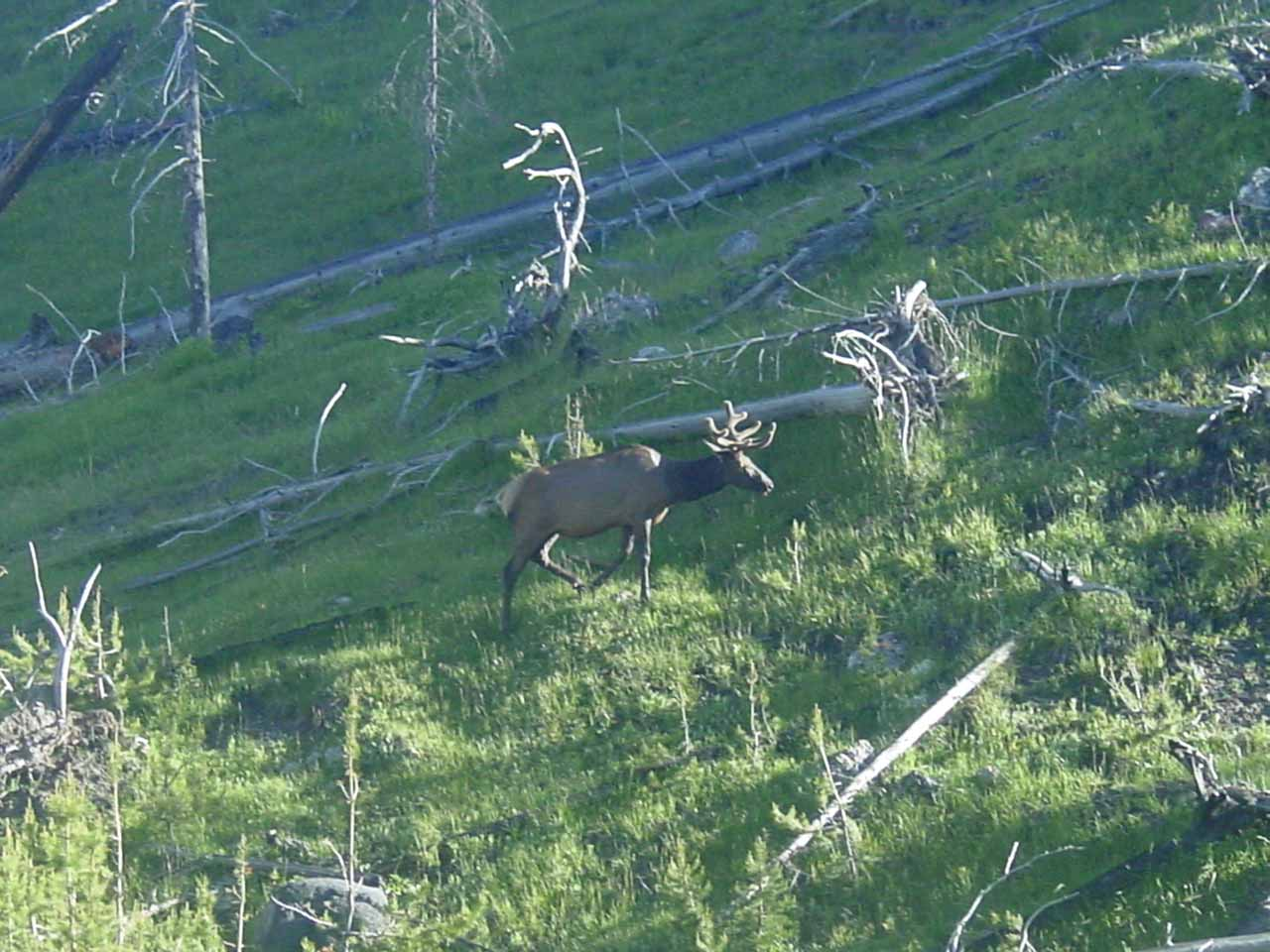Elk trotting on the hillside opposite the river