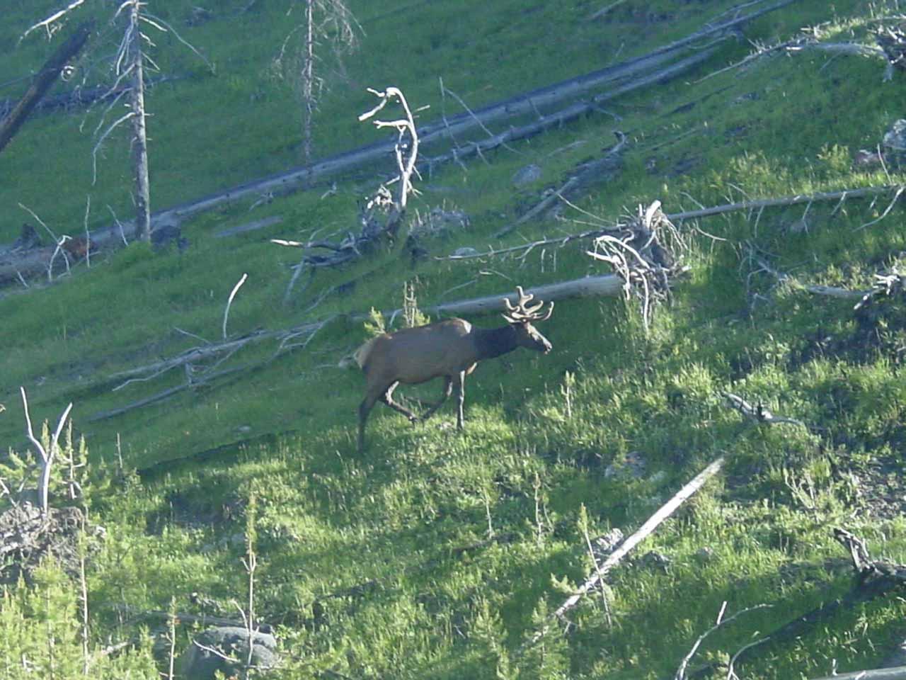 Elk trotting on the hillside opposite the river