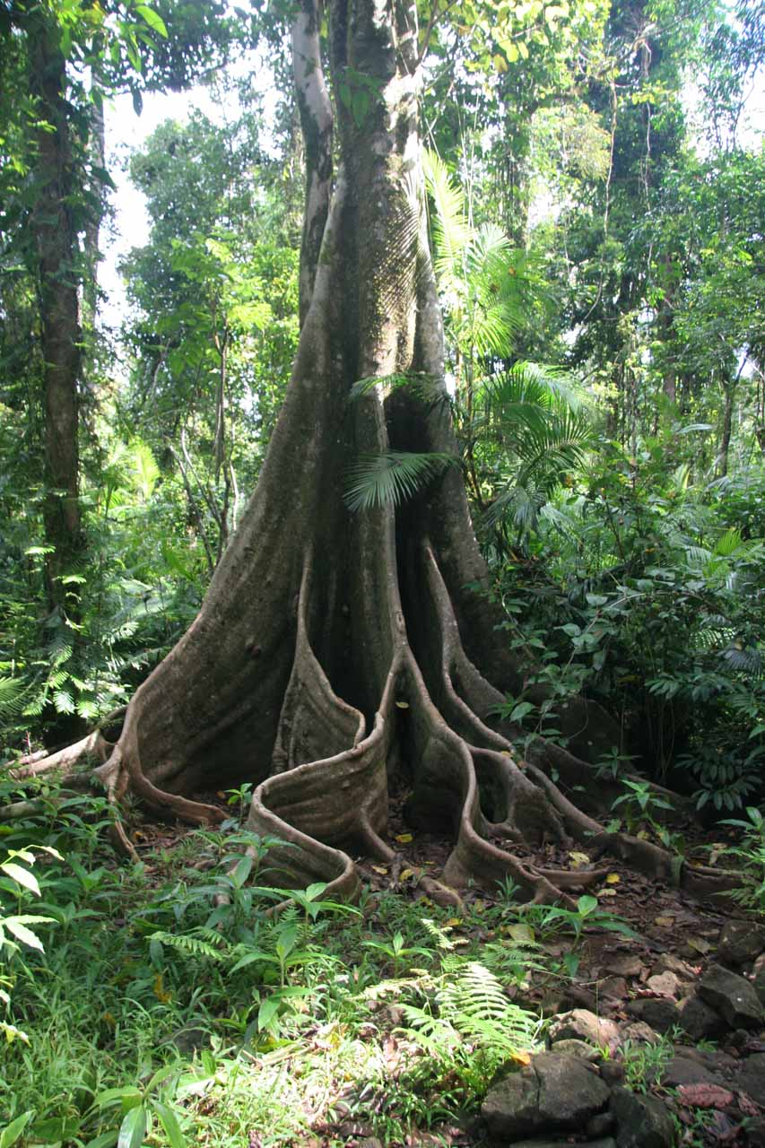 More of those interesting trees on the way to Nandroya Falls