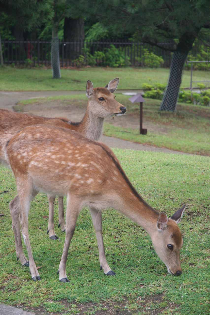 A pair of deer grazing near the 5-story pagoda