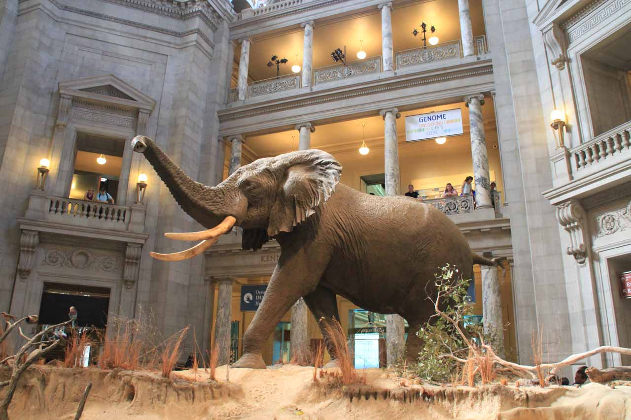 The elephant in the main lobby area facing the National Mall inside the Smithsonian Natural History Museum