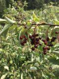 Natural_Bridge_Falls_018_iPhone_08092017 - Closeup look at some berries growing alongside the Natural Bridge Falls Trail