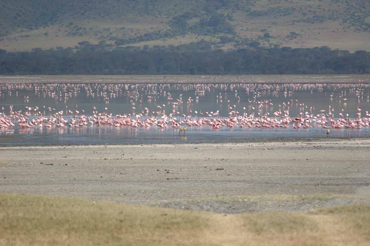 Flamingoes all over the water in Ngorongoro Crater