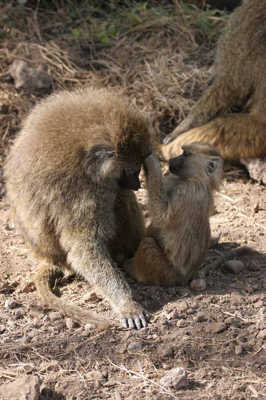 More baboons grooming