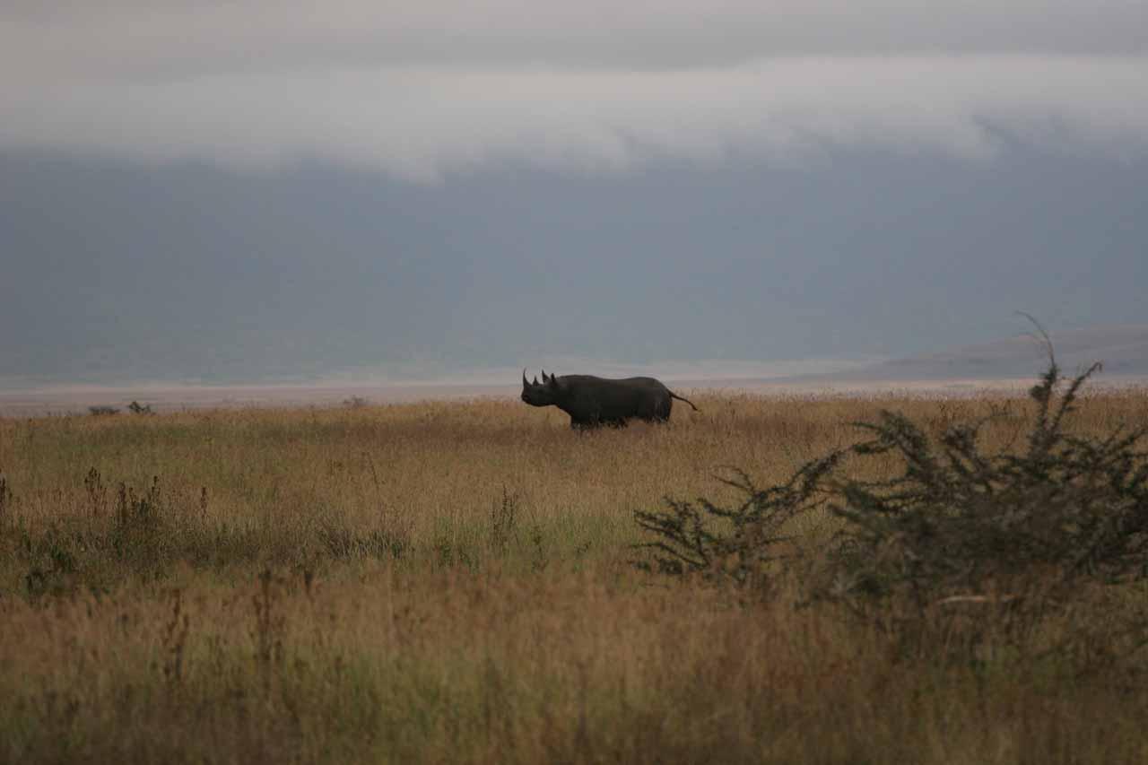 The elusive black rhinocerous