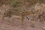 Ngorongoro_143_06112008 - Serval cat