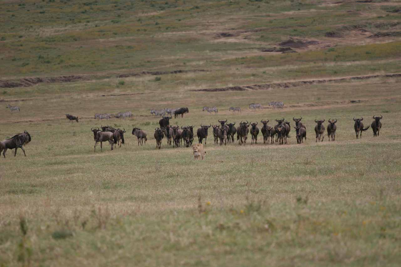 Wildebeest following female lion