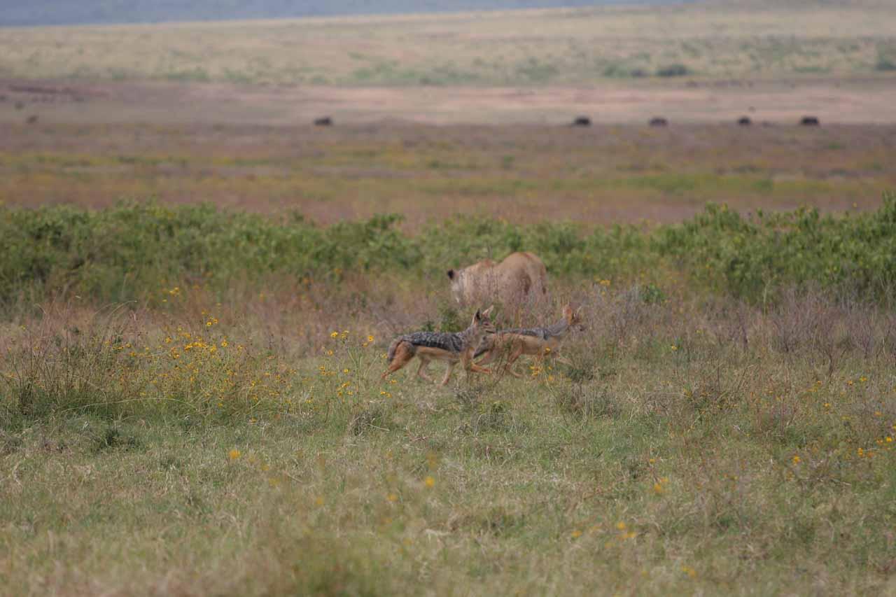Pair of jackals following female lion