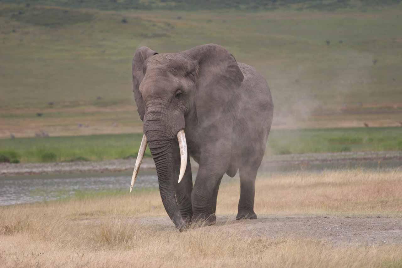 Elephant spraying itself with sand