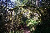 Niagara_and_Pheasant_Creek_Falls_010_04082021 - The Niagara Falls Trail passing beneath this drooping moss-covered tree