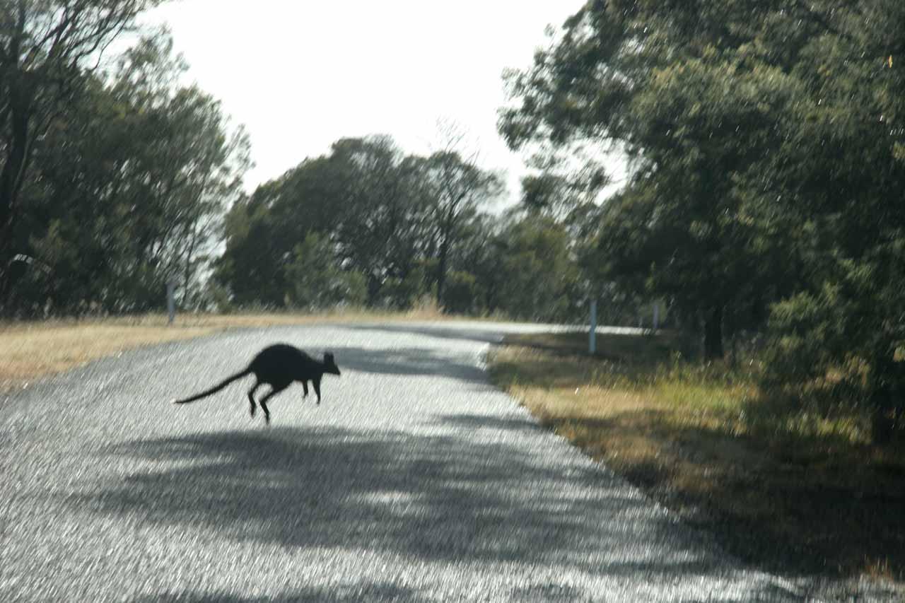 A kangaroo on the rural road to Nigretta Falls